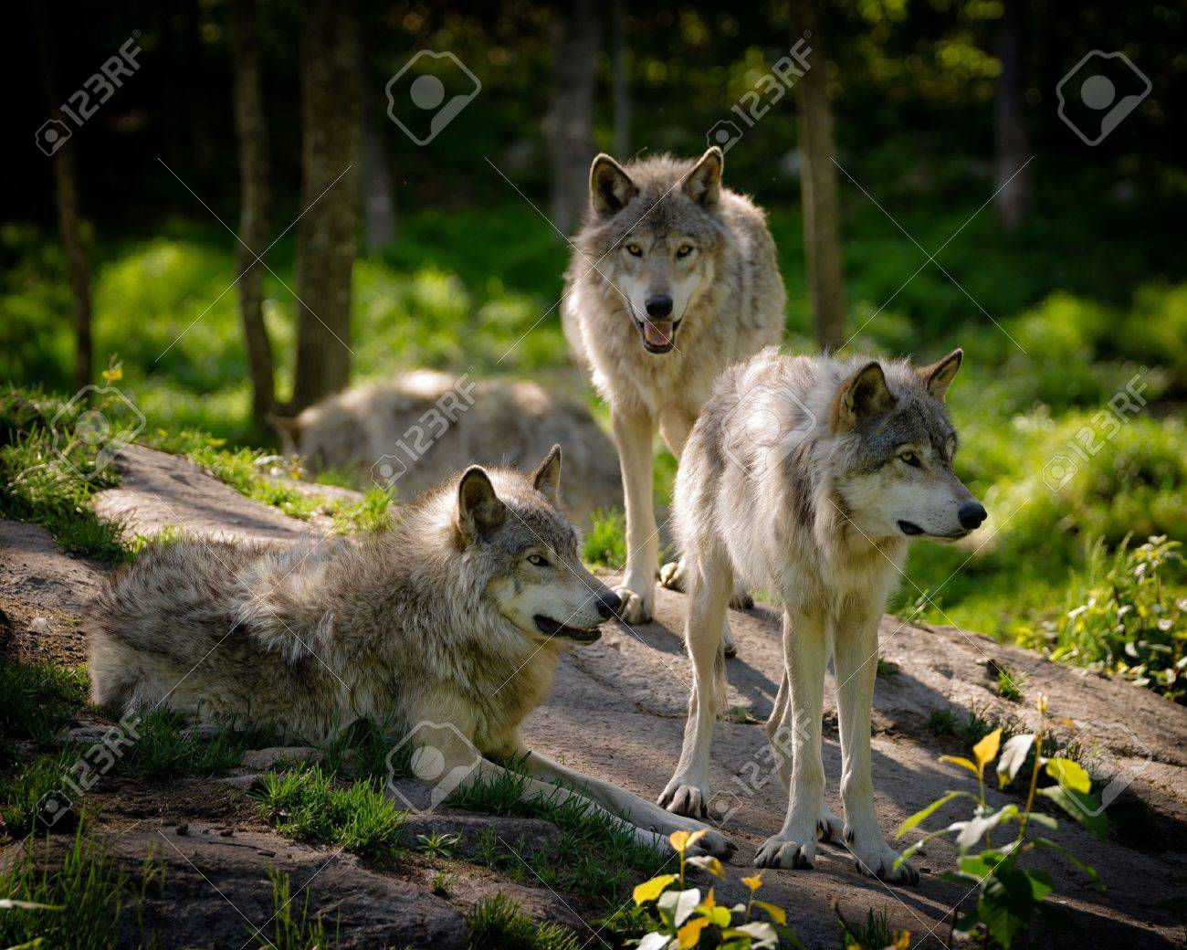 A small pack of three Eastern timber wolves gather on a rocky slope in the North American wilderness. - 20012949
