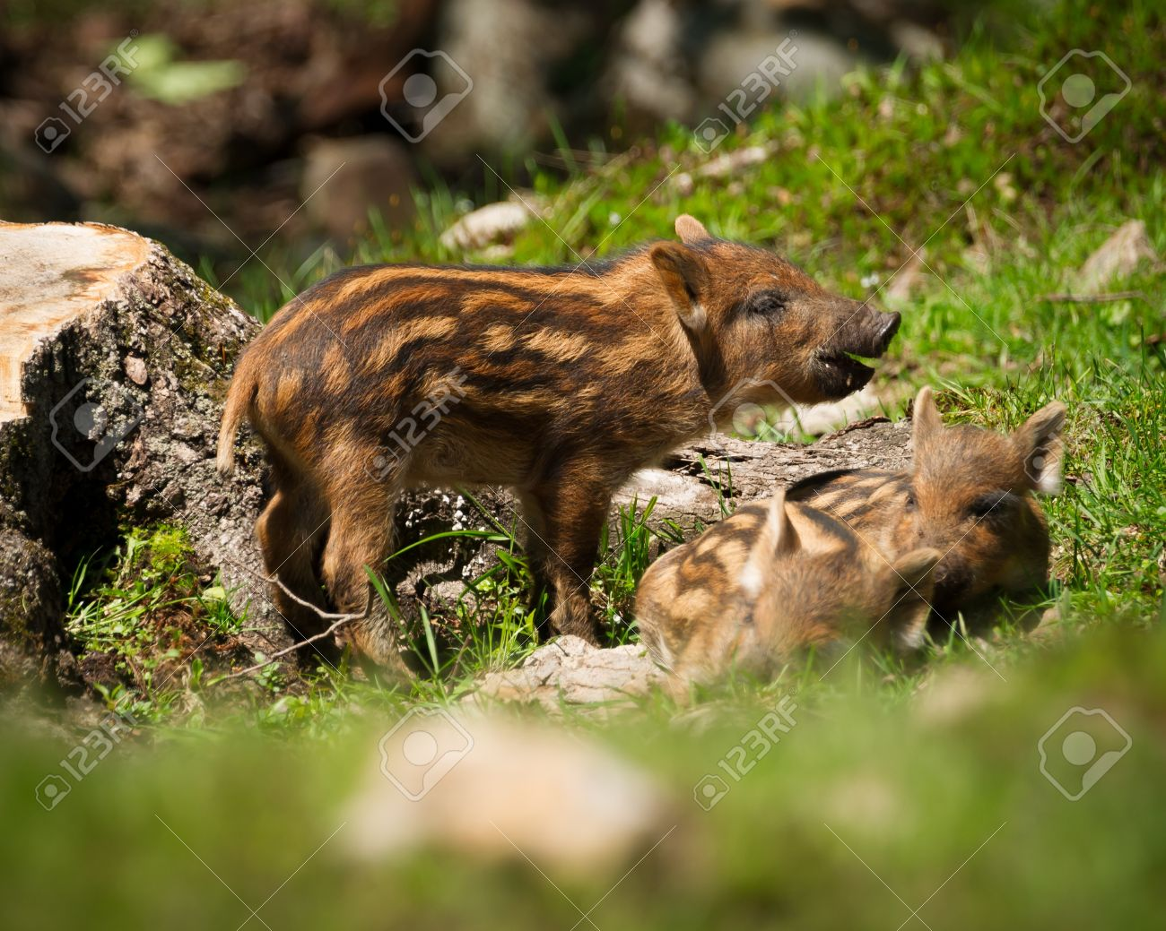 A group of baby wild boar or wild pigs (Sus scrofa) in the green grass of the summer sun. - 20012971