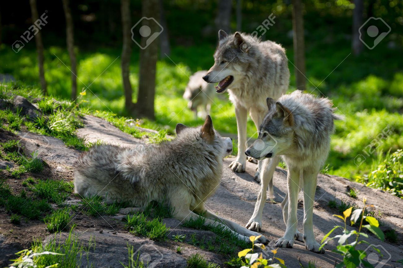 A small wolf pack with three wolves gathered on rocks in a Canadian forest in the foreground and one wolf approaching in the distance - 28931225