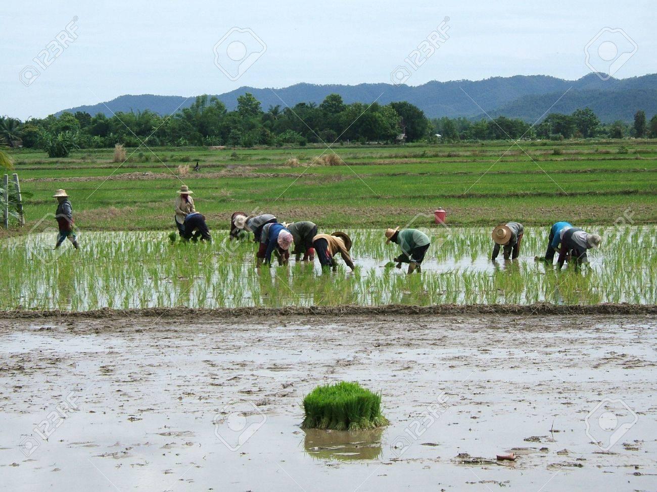 Las mujeres que trabajan en un campo de arroz en Asia  Foto de archivo - 2912723
