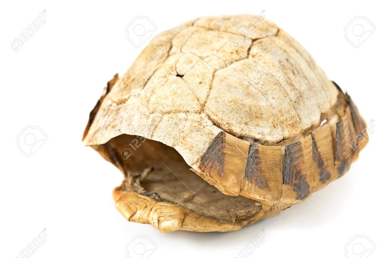 Tortoise turtle shell isolated on white