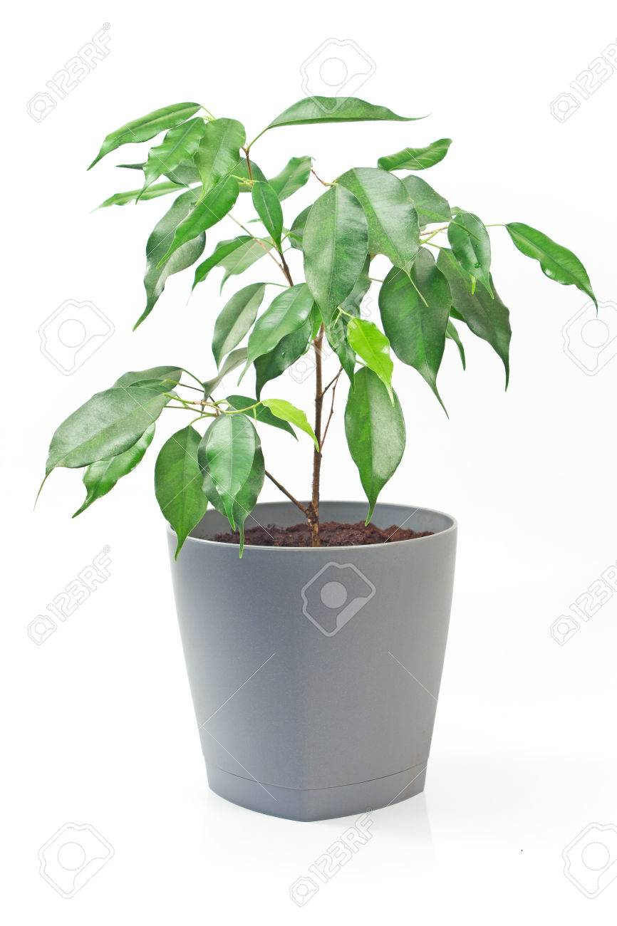 Ficus Benjamin Plant In Pot Isolated On White Background Stock Photo    76649441