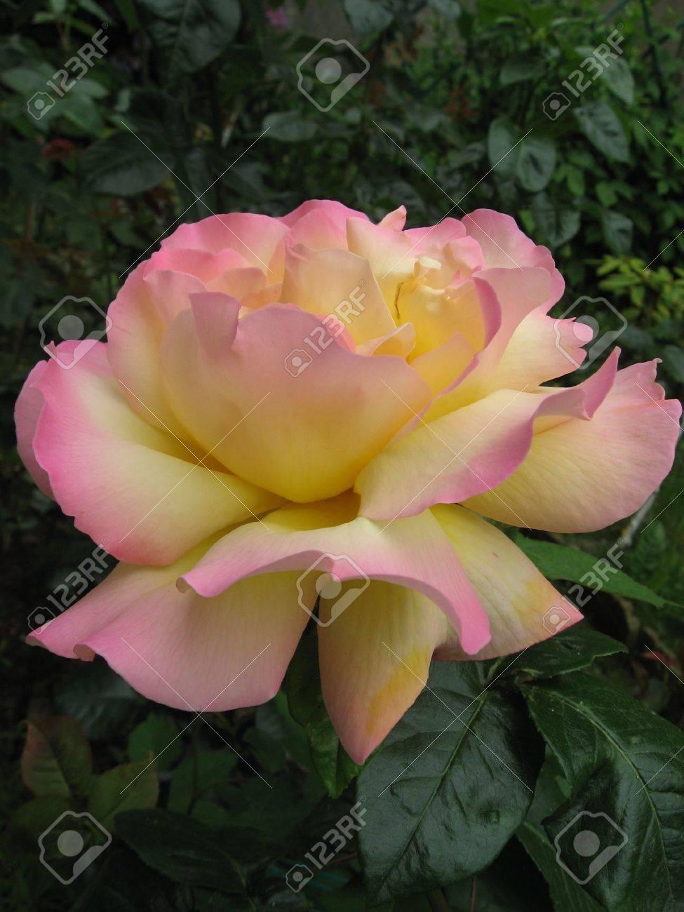 Roses Stock Photo - 5090243