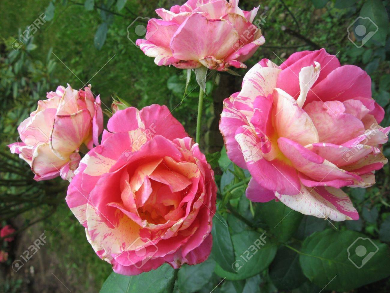 Roses Stock Photo - 10763395