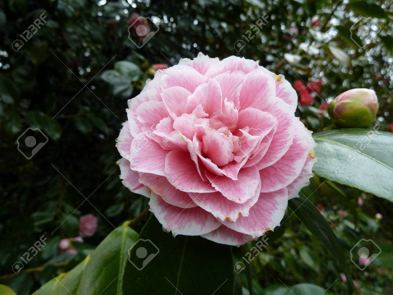 Pretty Single Pink Flower On A Bush In A Park Stock Photo Picture