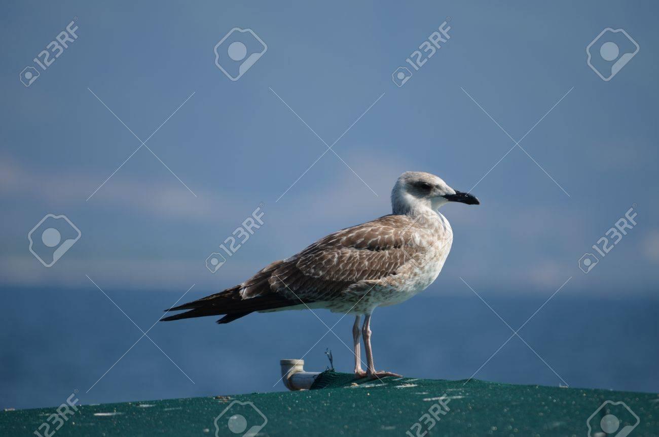 seagull Stock Photo - 14937377