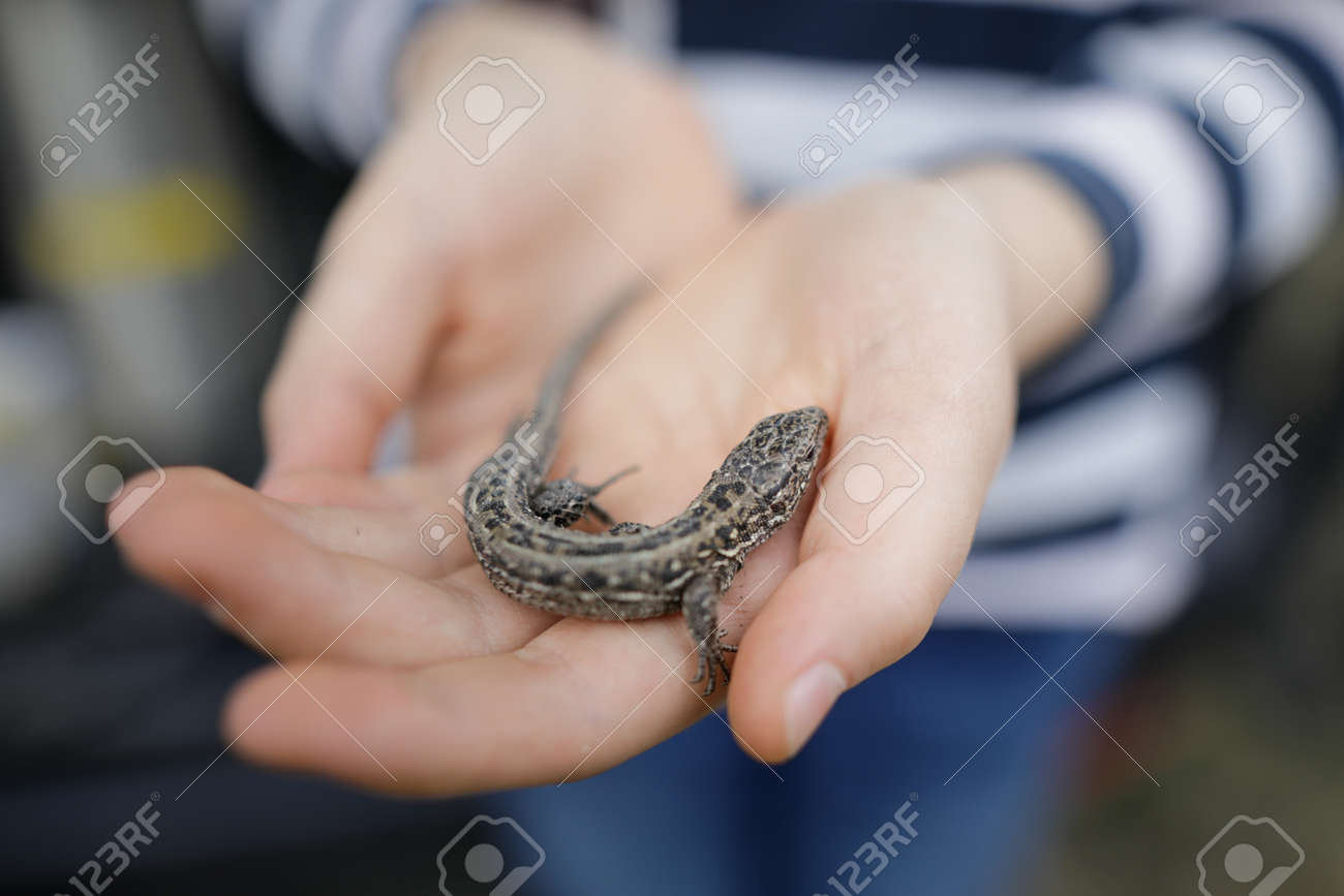 Shallow depth of field (selective focus) details of a small field lizard in the hands of a little girl. - 166158396