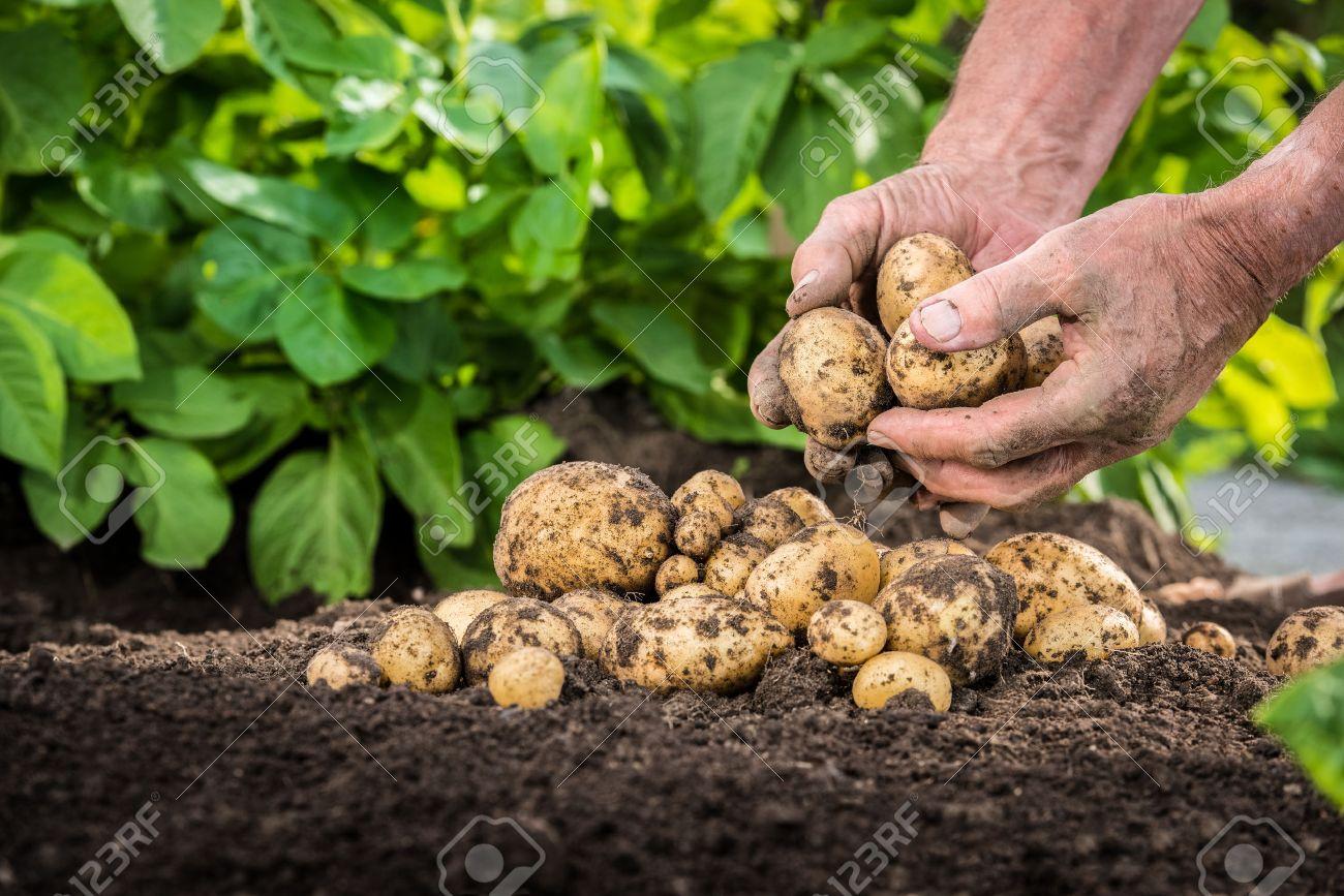 Hands harvesting fresh organic potatoes from soil - 29684522
