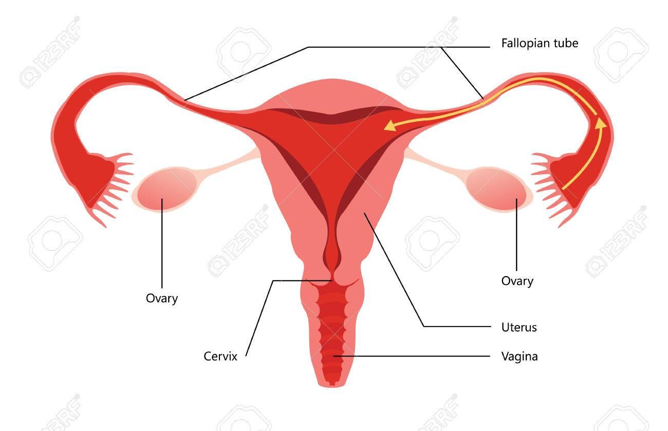 Weibliche Fortpflanzungssystem Vector Diagramm Auf Weißem ...