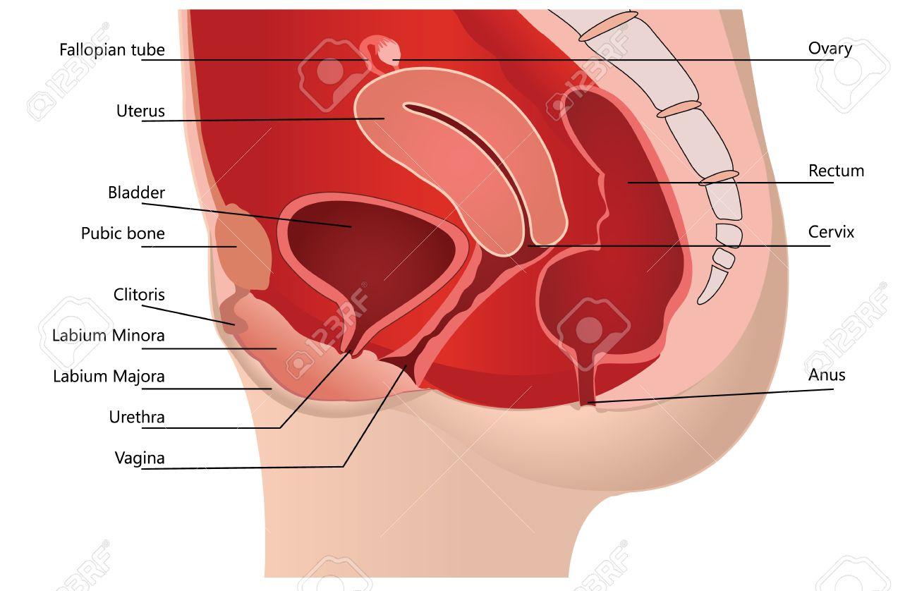 Atractivo La Imagen Del Sistema Reproductor Femenino Etiquetado ...