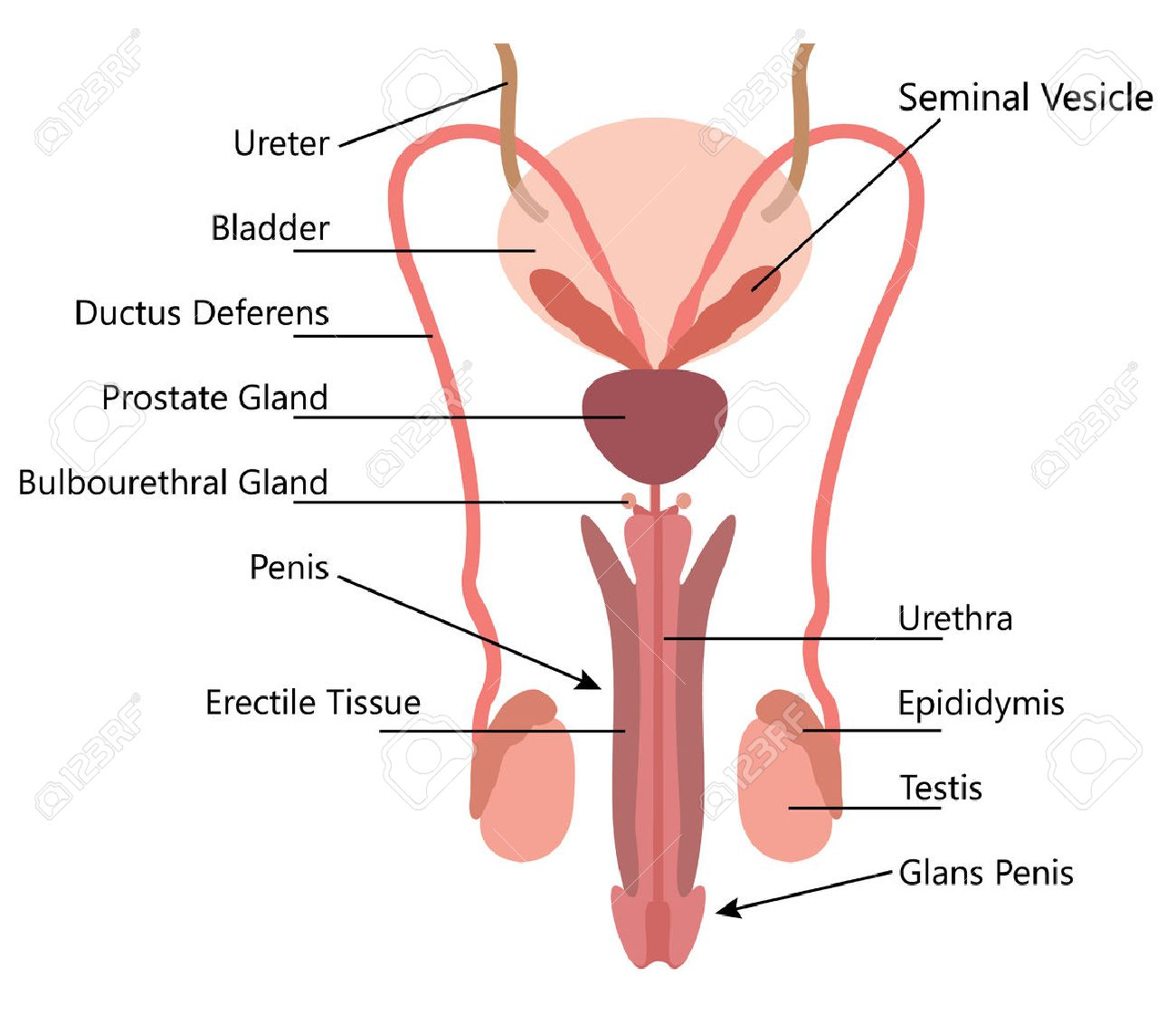 Male Reproductive System Vector Diagram On White Background Royalty