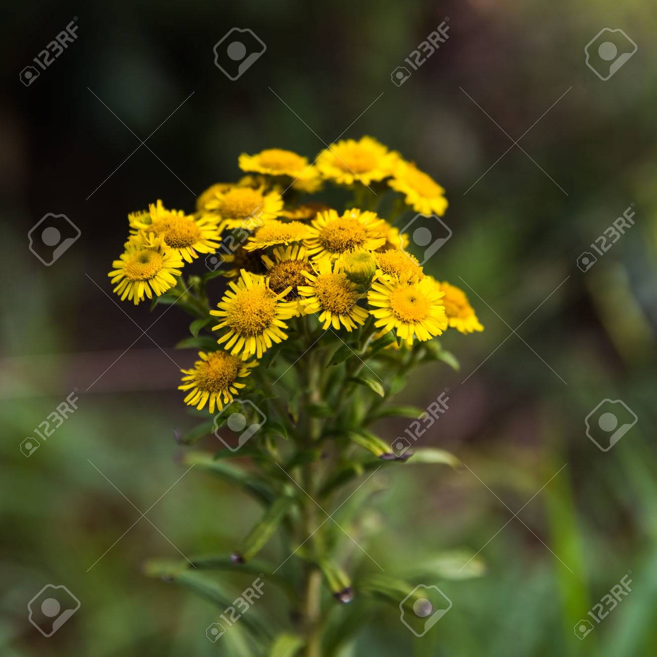 Geliebte Chrysanthemum INDICUM Stock Photo, Picture And Royalty Free Image #BT_41