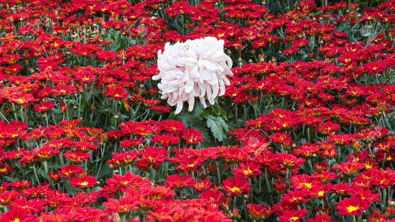 Chrysanthemum Flower Bed Stock Photo Picture And Royalty Free Image