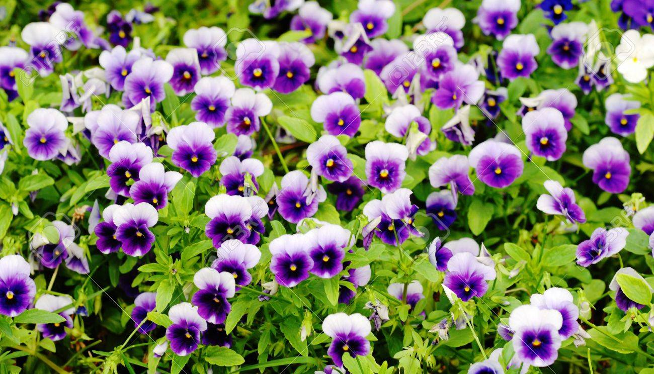 Small spring flowers pansy in close up stock photo picture and small spring flowers pansy in close up stock photo 4253665 mightylinksfo