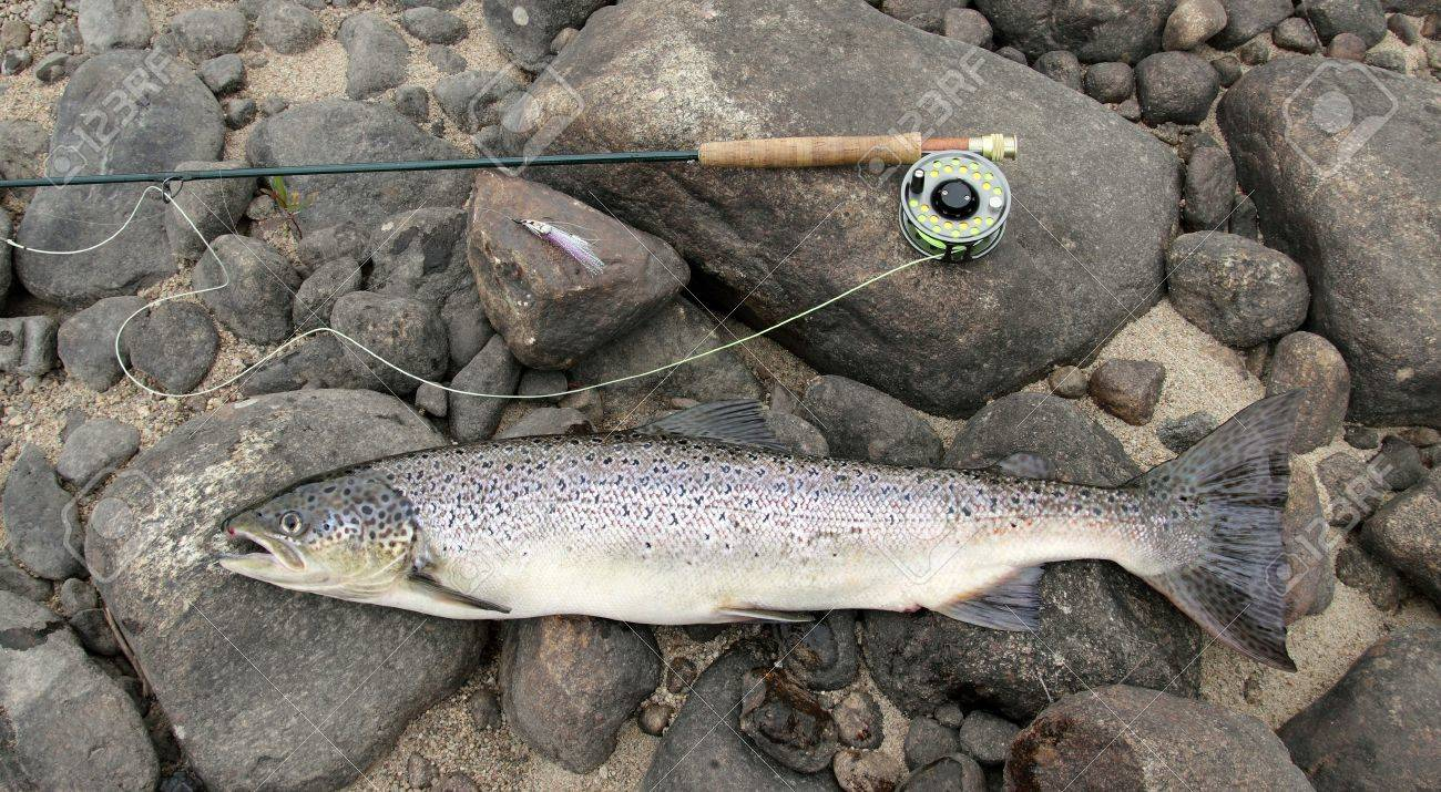 closeup of an atlantic salmon and a fly fishing rod Stock Photo - 14841249
