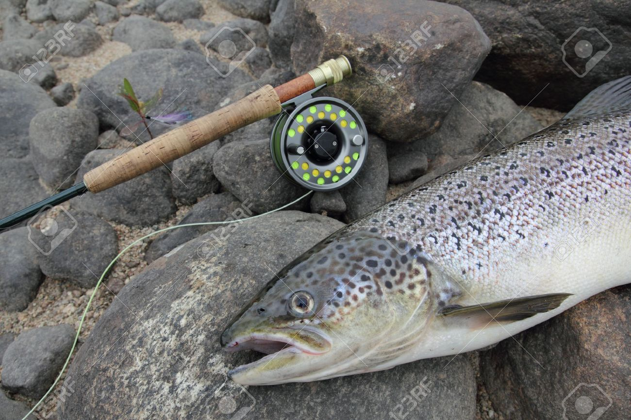 closeup of an atlantic salmon and a fly fishing rod Stock Photo - 14841256
