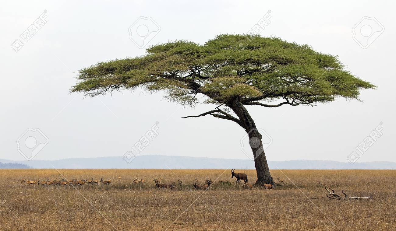 Lonely Acacia Tree In Serengeti Park With Herd Of Gazelles Under
