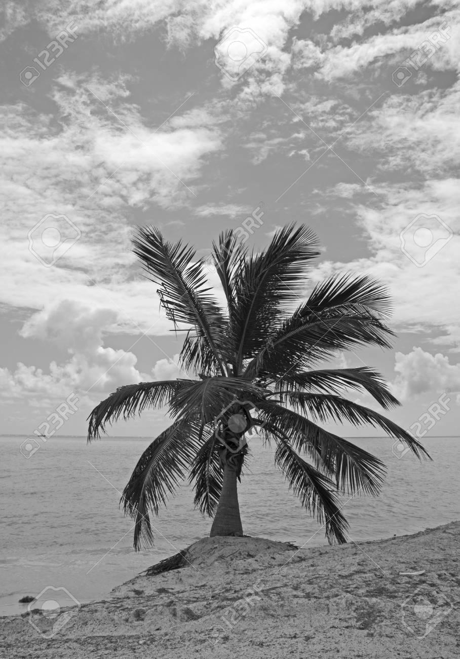 Palm Tree On Tropical Beach Black And White Lizenzfreie Fotos