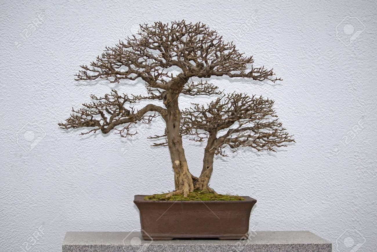 Bonsai Tree Without Leaves In The Winter Stock Photo Picture And Royalty Free Image Image 100431349