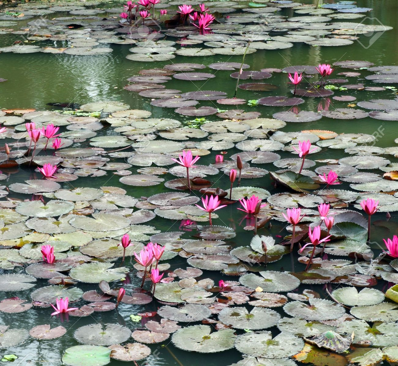 Lotus pond scenery stock photo picture and royalty free image lotus pond scenery stock photo 11780363 izmirmasajfo