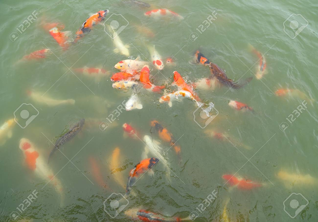 Beautiful Koi Fish Swimming In The Pond Stock Photo, Picture And ...