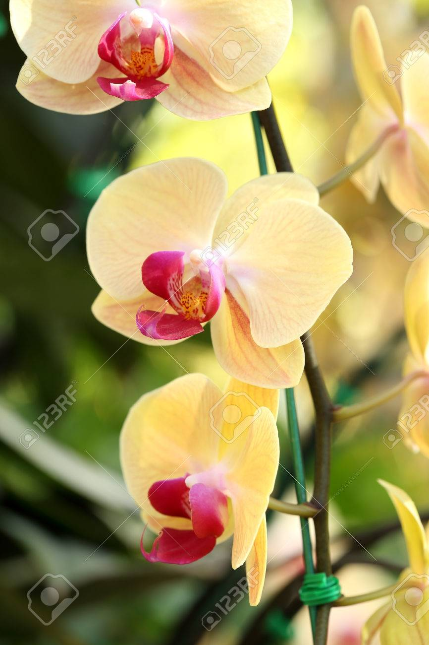 yellow phalaenopsis orchid in the orchid garden stock photo picture