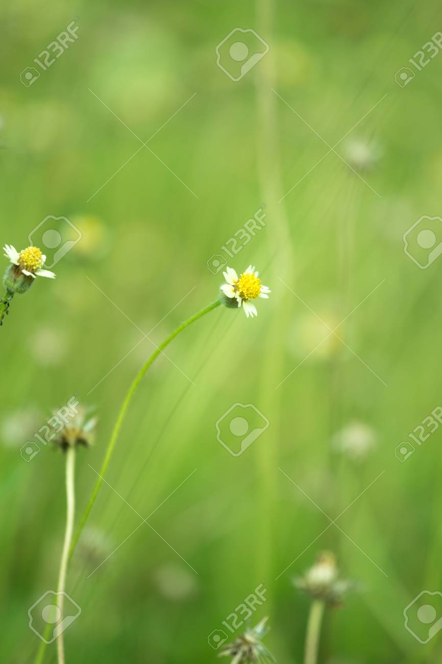Little White Flower With Yellow Pollen Little Iron Weed Grass