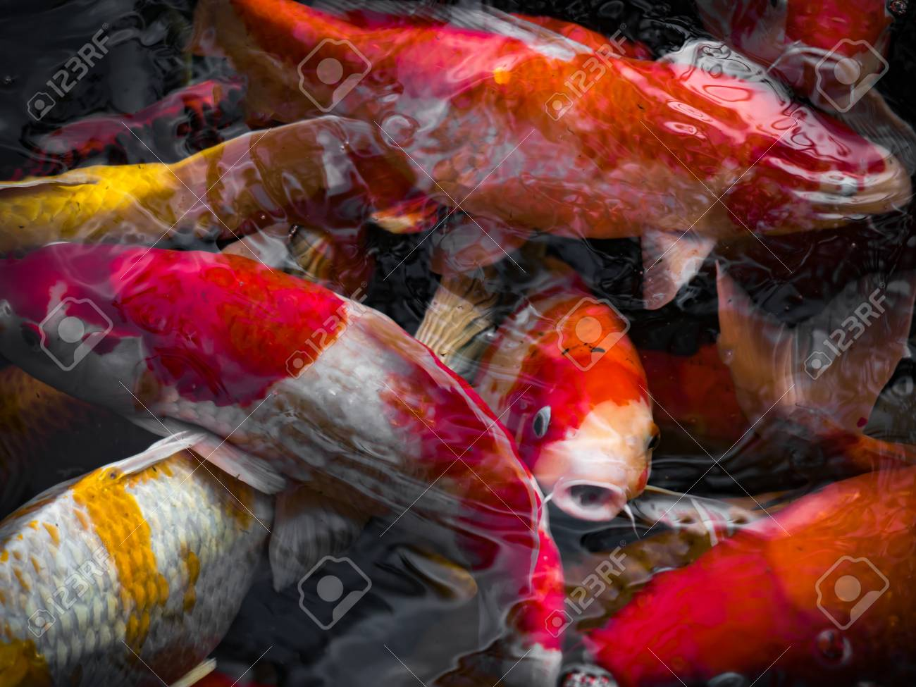 Beautiful Colorful Fancy Carp Fish Swimming In The Pond Stock Photo ...