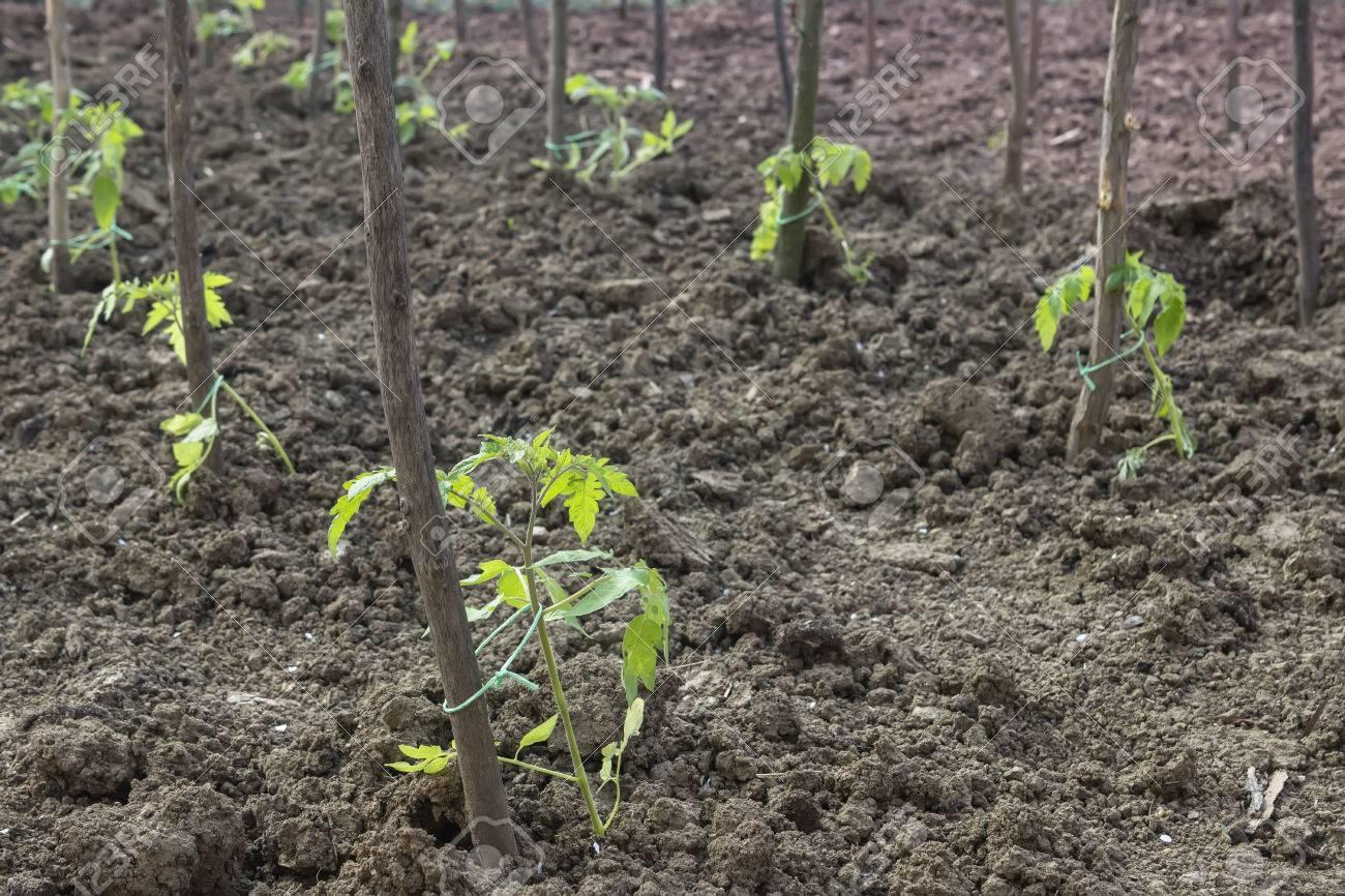 Plantas De Tomate Jóvenes Con Estacas De Madera En El Jardín. Método ...