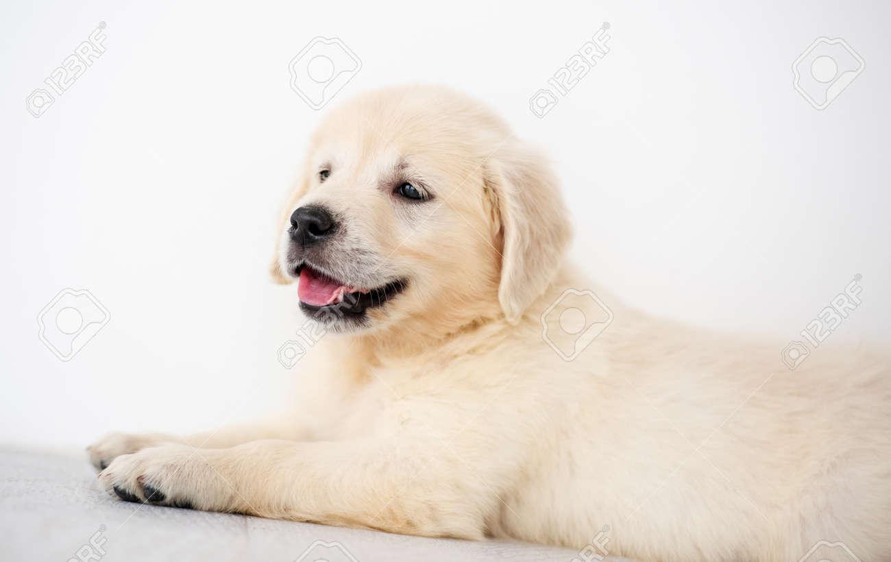 Lovely golden retriever puppy indoors - 165032362