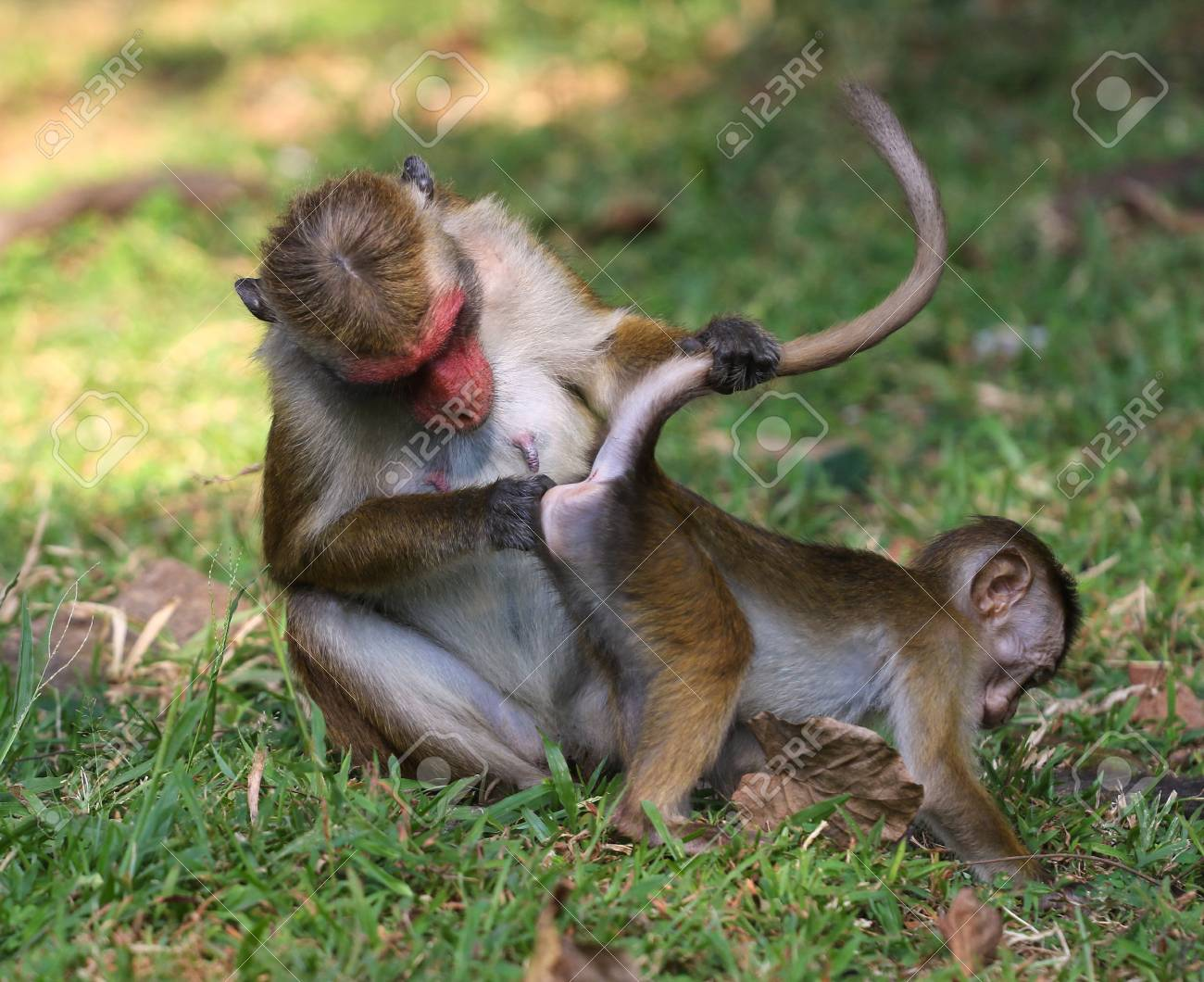 Macaca monkey is inspect baby ass, Funny Monkey Business Stock Photo - 97646196