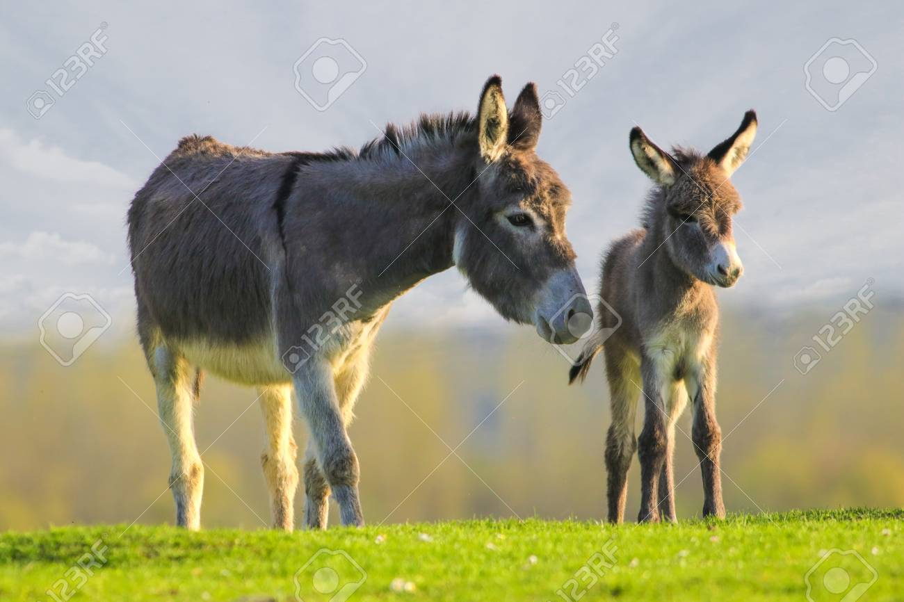 Grey cute baby donkey and mother on floral meadow - 100330838