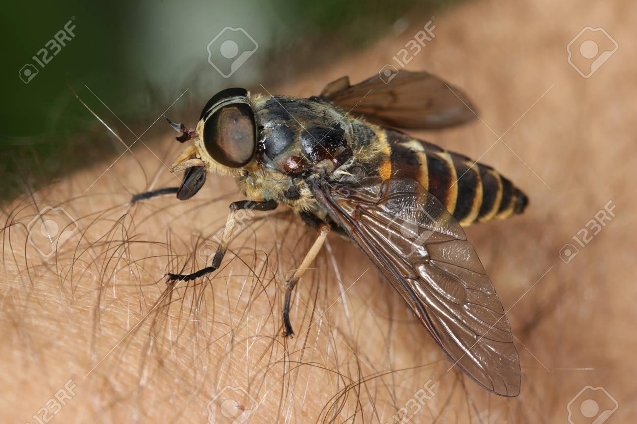 Gadfly, Tabanus bovinus on the human skin - 106594101