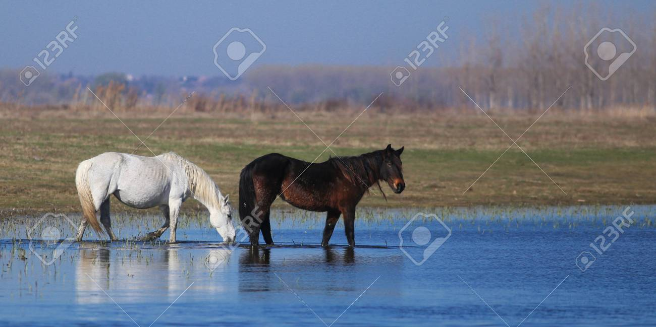 Two Wild Horses Black And White On The Watering Place Stock Photo Picture And Royalty Free Image Image 119924044