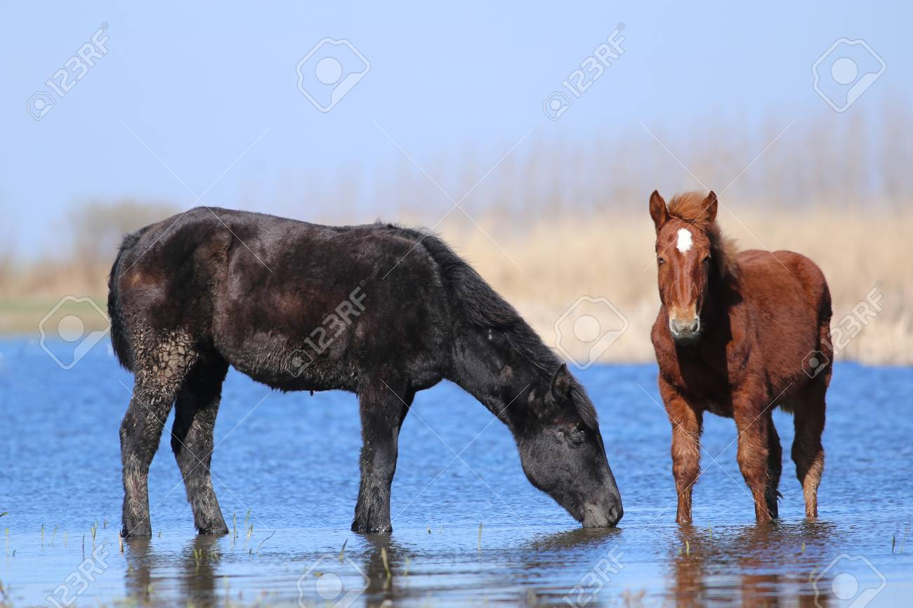 Two Wild Horses Black And Sorrel Are Drinking In Watering Place Stock Photo Picture And Royalty Free Image Image 119924475