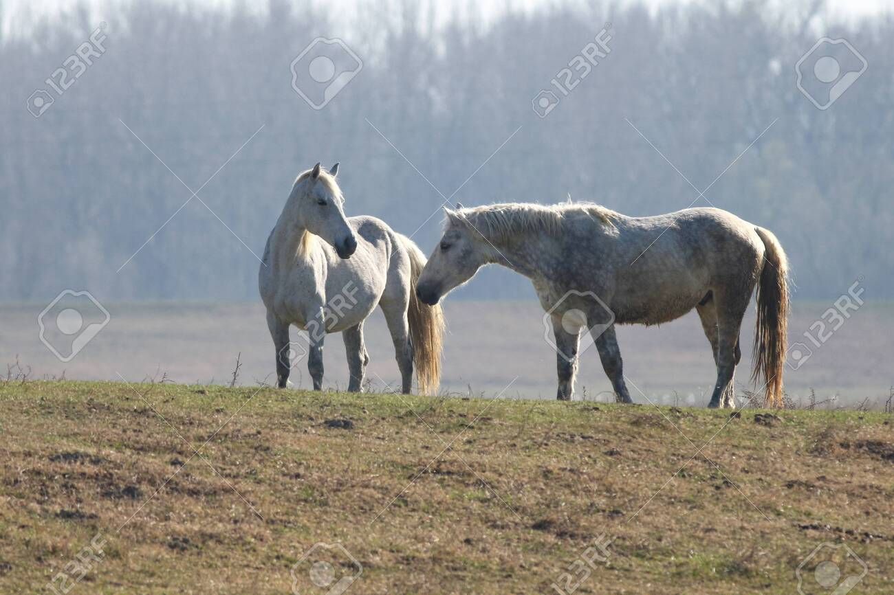 Love Between Two White Wild Horses In The Pasture Stock Photo Picture And Royalty Free Image Image 122294131
