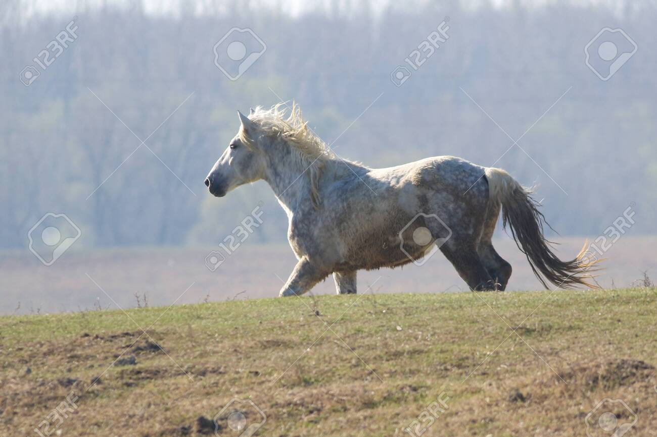 White Wild Horse Is Galloping In Pasture Stock Photo Picture And Royalty Free Image Image 122294132