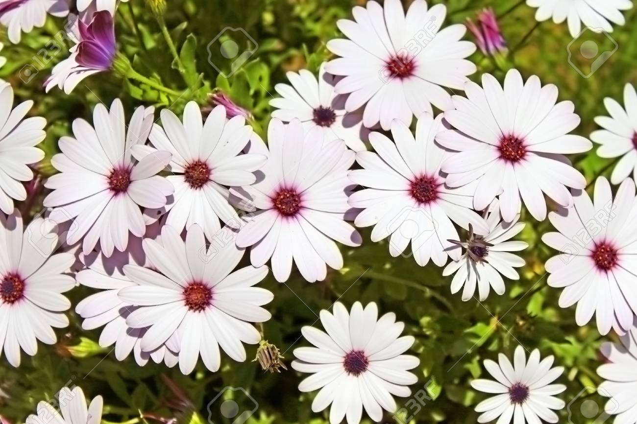 Pretty White Flowers In A Garden Stock Photo Picture And Royalty