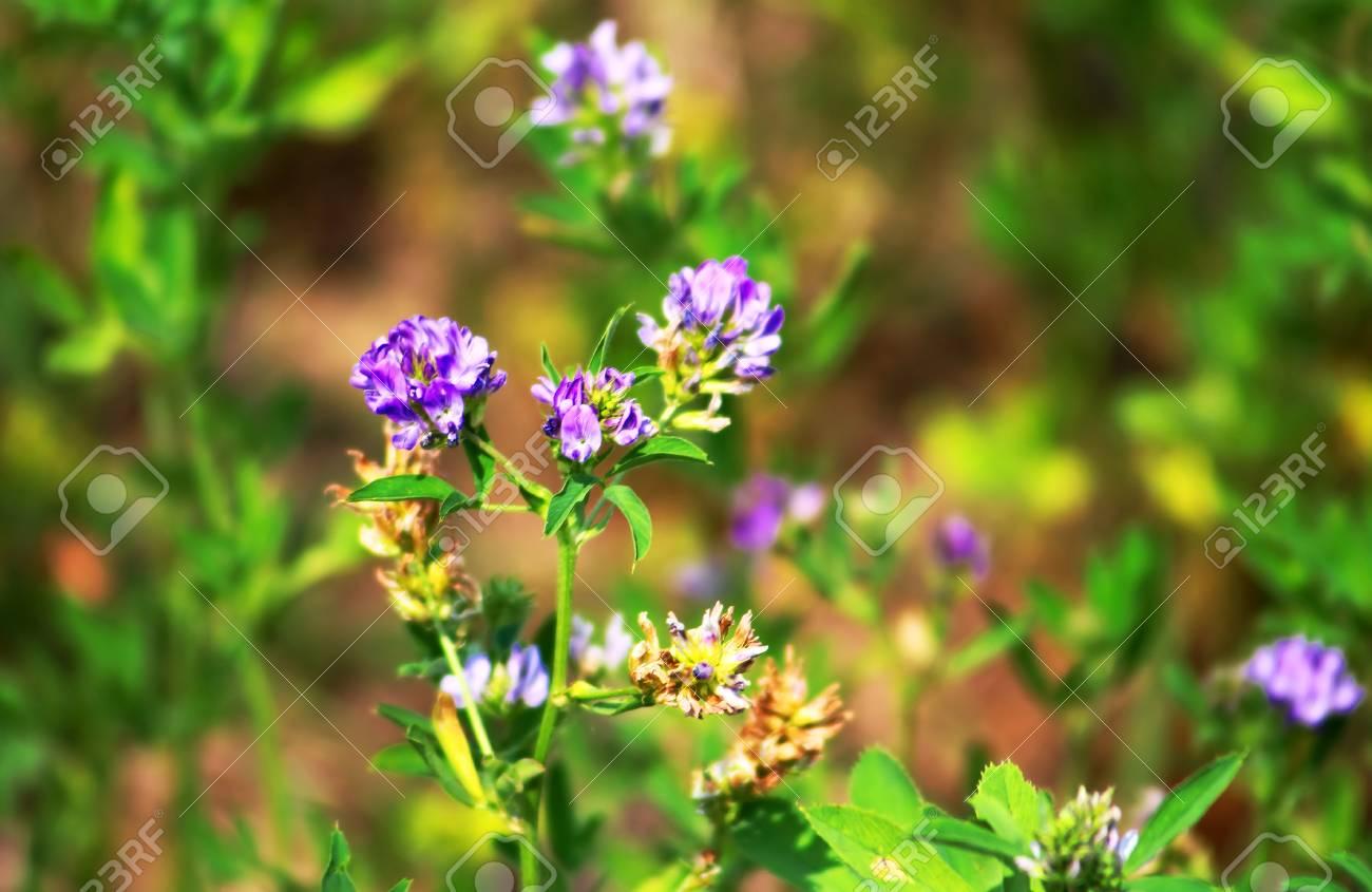 Berühmt Alfalfa, Medicago Sativa, Auch Luzerne Genannt, Ist Eine #MY_63