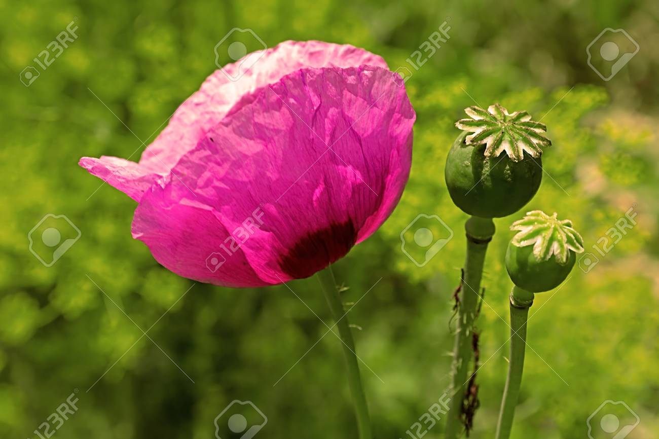 Purple poppy flower stock photo picture and royalty free image purple poppy flower stock photo 81232123 mightylinksfo