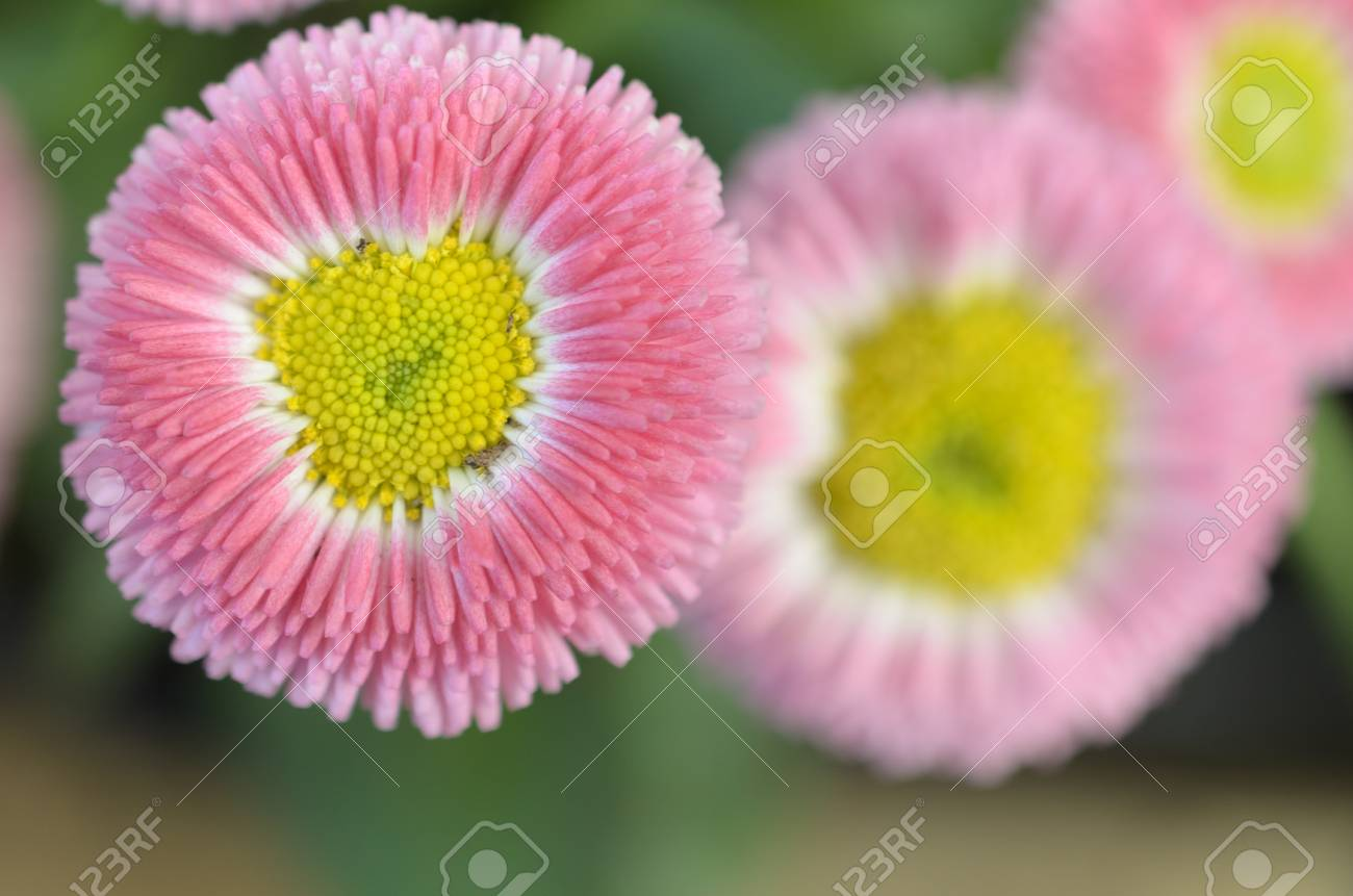 A Rosy Pink Flower With A Yellow Center Stock Photo Picture And