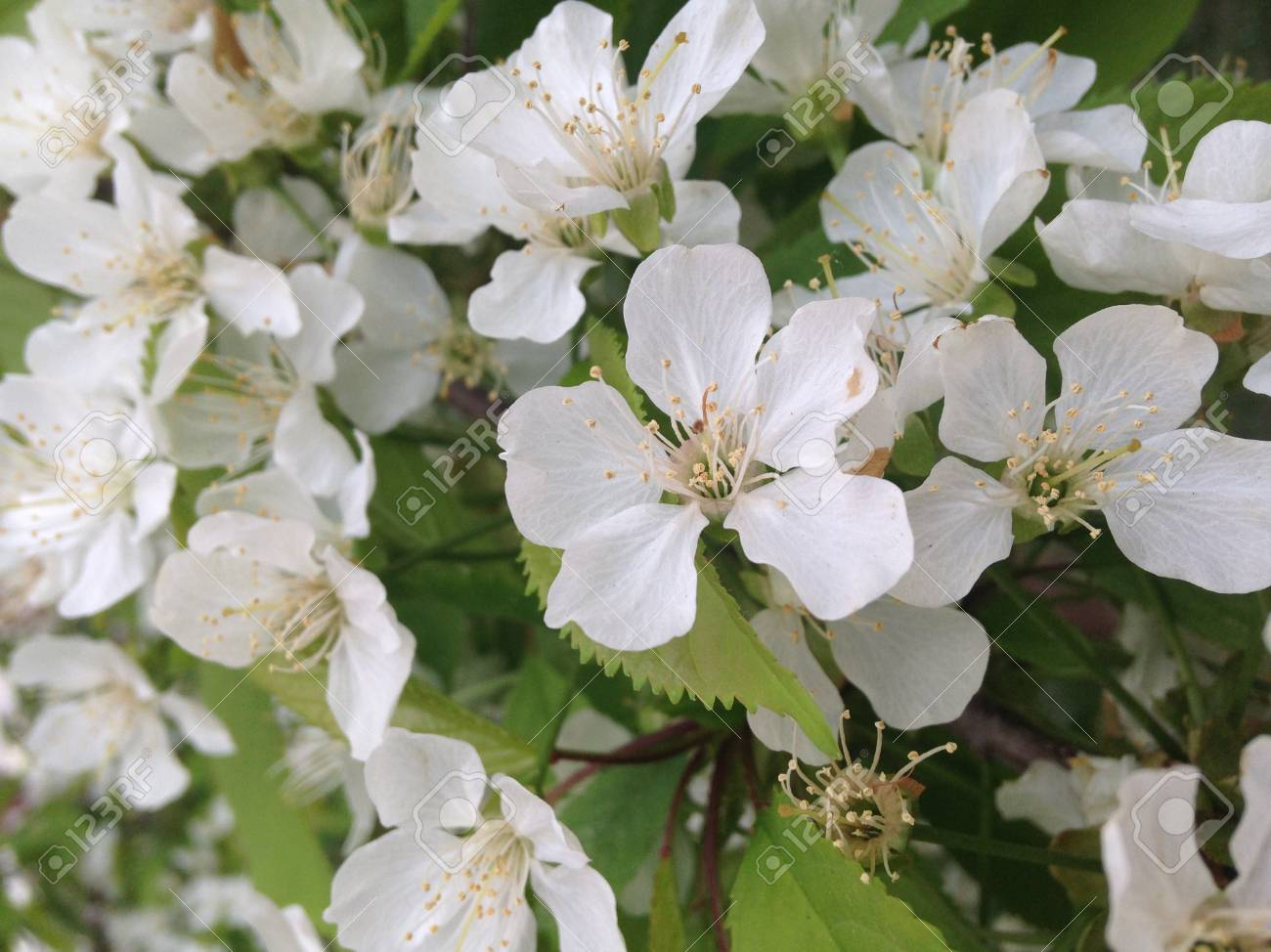 White Flowers On The Bushes In Summer Stock Photo Picture And