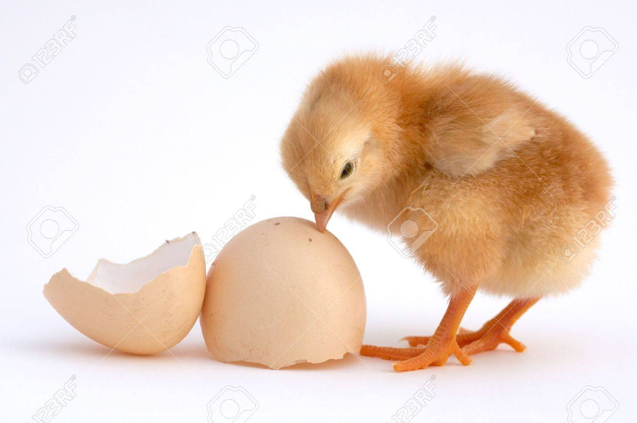 chicken that finishes being born Stock Photo - 453474