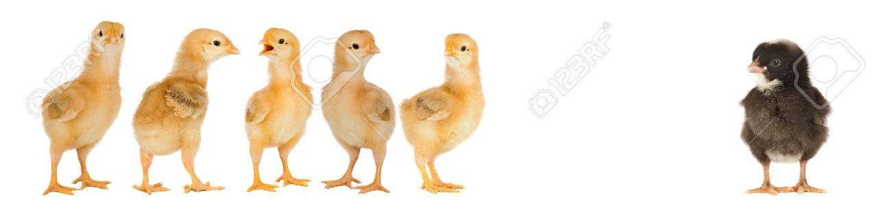 white-black-chicks