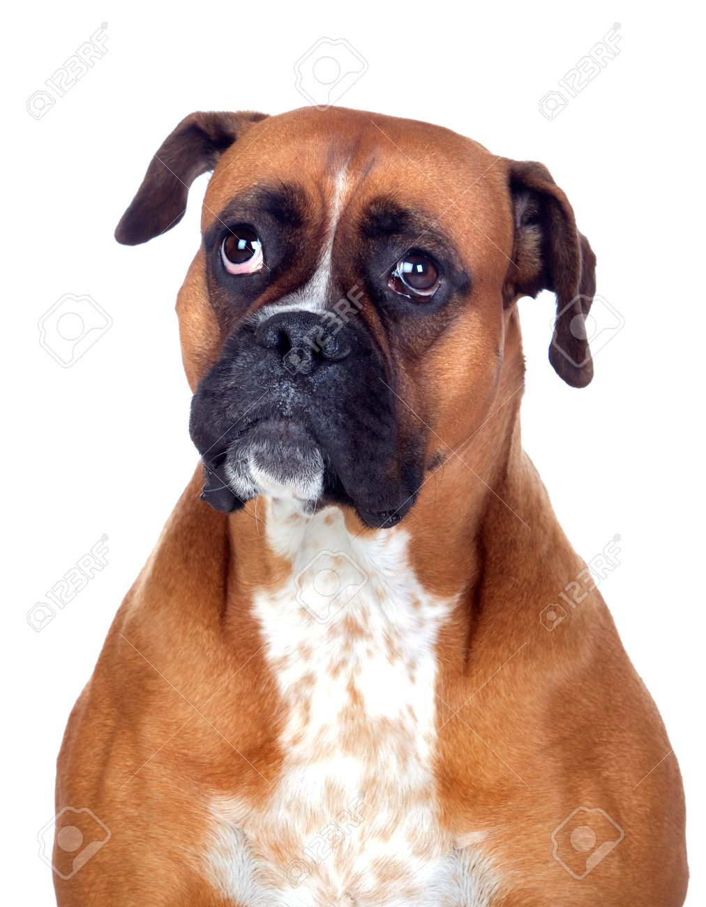 Beautiful Boxer dog isolated on white background Stock Photo - 14583777