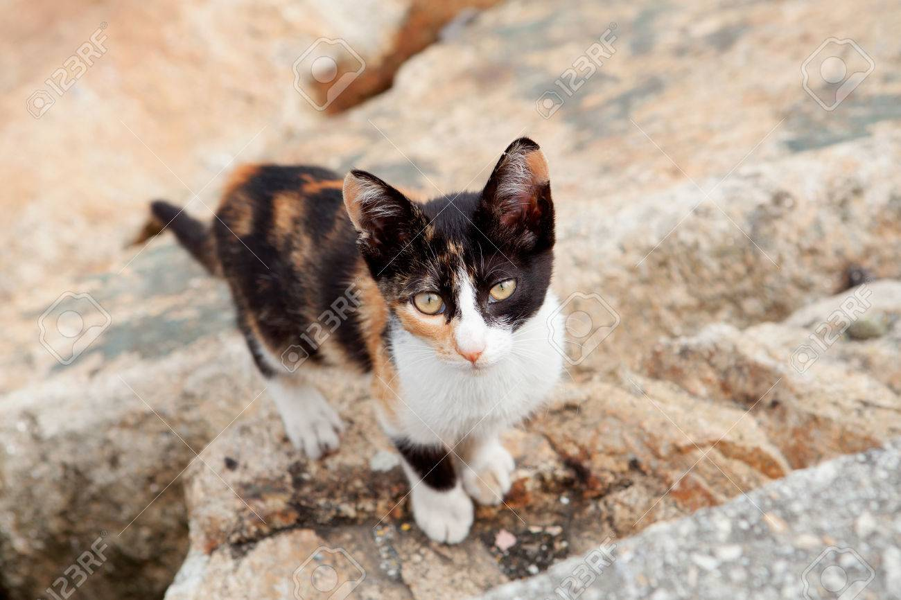 Stray Cat Black And Brown Looking At The Camera Stock Photo, Picture ...