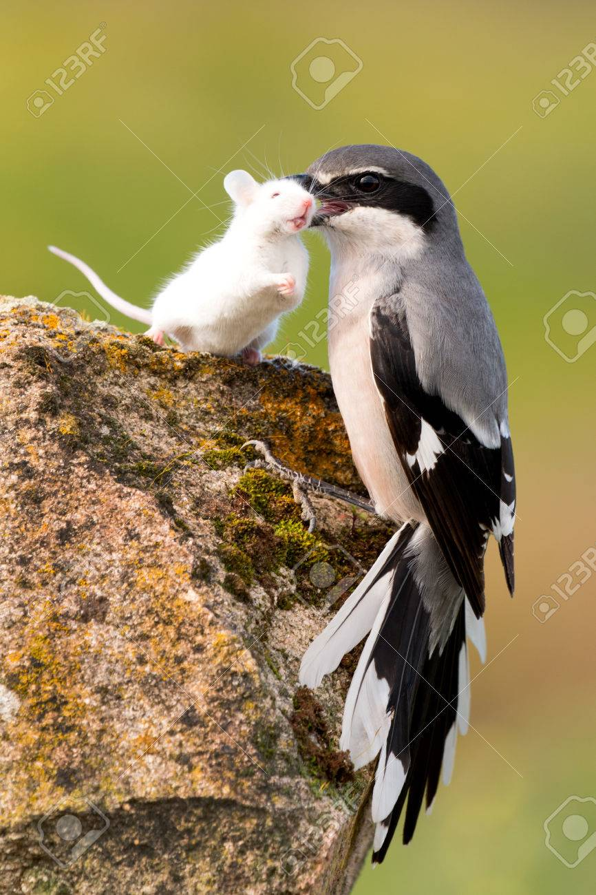 Beautiful bird trapping their prey, a white mouse - 54288941