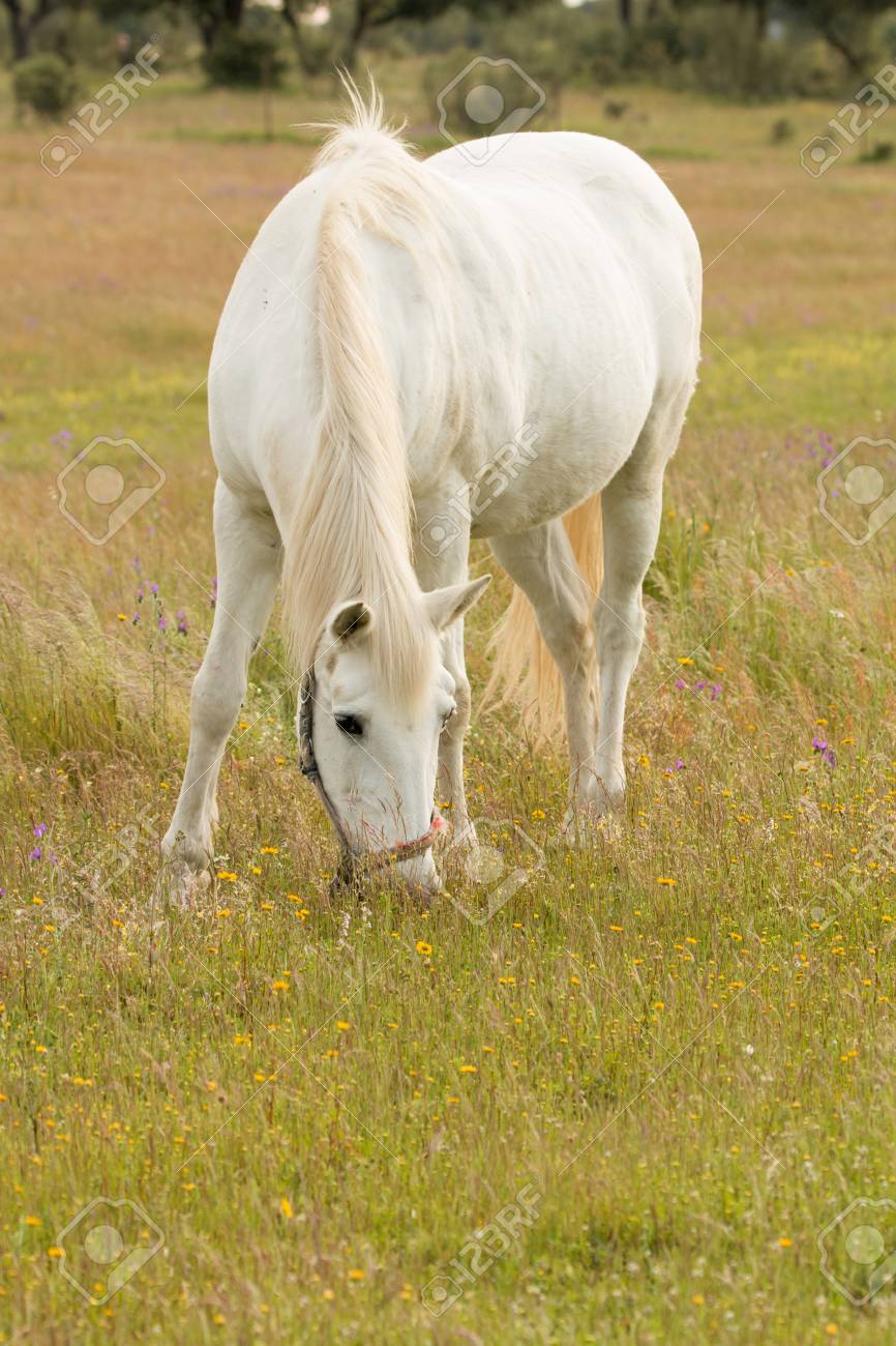 Beautiful White Horse Grazing In A Field Full Of Yellow Flowers Stock Photo Picture And Royalty Free Image Image 58956726