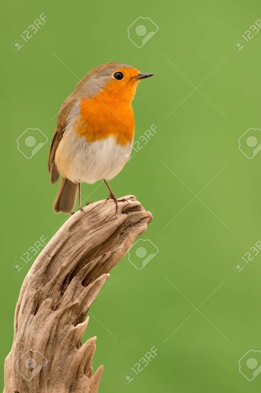 Pequeño Pájaro Precioso, Con Unas Plumas Anaranjadas Fotos, Retratos ...