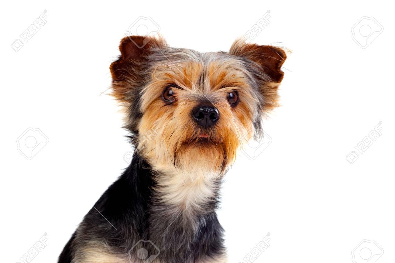 Fein Haar Terrier Mix Rasse Zeitgenössisch - Elektrische Schaltplan ...